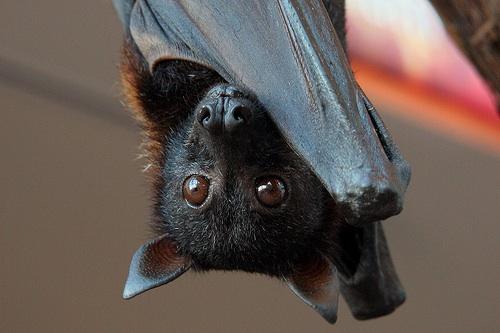 Malaysian Bat
