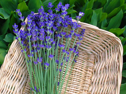 Making homemade herbal tea is an easy way to preserve the lavender from your garden!