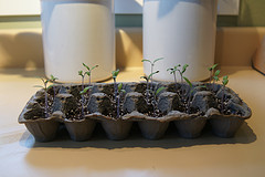 If you're a gardener and would like to start plants from seeds this year, then save your Easter egg cartons, they make the perfect container for starting your seedlings.