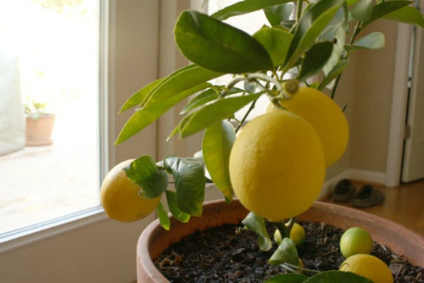 Happy lemon tree in its container!