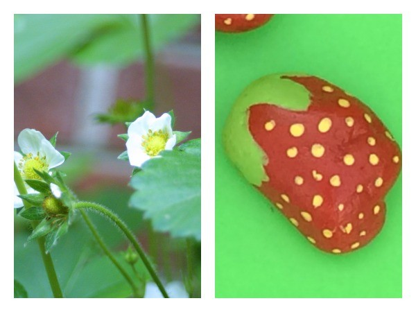 Keep birds away from strawberries with DIY decoy strawberries!