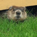Groundhog Image via Gilles Gonthier
